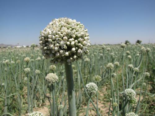 گیاه پیاز طلایی