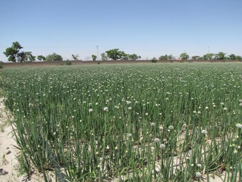 مزرعه پیاز